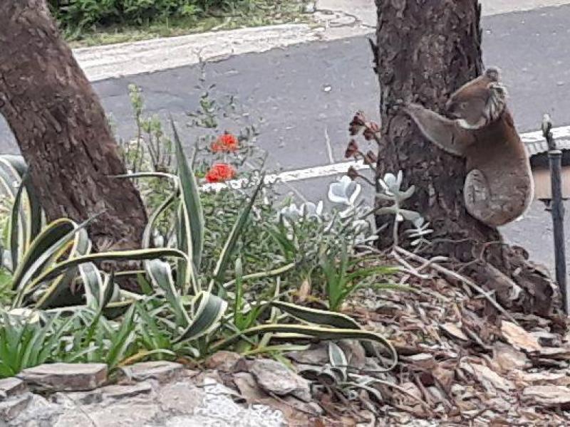 Koala at our mailbox, 25 October 2018.